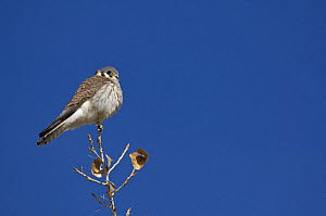 Adult female American kestrel (Falco sparverius) perched on the top of a tree, Bosque del Apache National Wildlife Refuge, New Mexico, USA  -  Mark Carwardine
