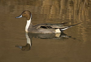 Adult male Northern pintail duck (Anas acuta) on water, Bosque del Apache National Wildlife Refuge, New Mexico, USA  -  Mark Carwardine