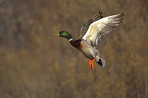 Mallard (Anas platyrhynchos) drake flying, Bosque del Apache National Wildlife Refuge, New Mexico, USA  -  Mark Carwardine