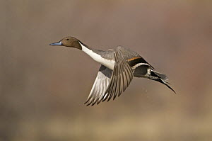 Adult male Northern pintail duck (Anas acuta) flying, Bosque del Apache National Wildlife Refuge, New Mexico, USA  -  Mark Carwardine