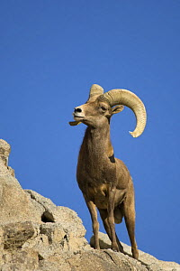 Male Bighorn sheep (Ovis canadensis) Captive, Living Desert Zoo, Palm Desert, California, USA  -  Mark Carwardine