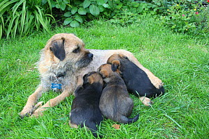 Border terrier (Canis familiaris) mother with three puppies suckling, outdoors  -  Miles Barton
