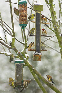 Goldfinches (Carduelis carduelis), Greenfinches (Carduelis chloris) and Siskins (Carduelis spinus) feeding on Nyger Seed, Peanuts and Black Sunflower seed from garden bird feeders in the snow, Norfolk... - Gary K. Smith