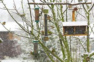 Goldfinches (Carduelis carduelis) Greenfinch(Carduelis chloris) and Siskin (Carduelis spinus) feeding on Niger Seed, Peanuts and Black Sunflower seed from garden bird feeders in the snow, Norfolk, UK  -  Gary K. Smith