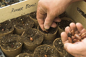 Sowing Runner bean (Phaseolus coccineus) seeds in peat pots in the greenhouse, Norfolk, UK  -  Gary K. Smith