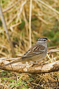 White crowned sparrow (Zonotrichia leucophrys)  rare North American migrant, Cley Village, North Norfolk, UK  -  Gary K. Smith