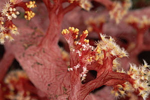 Soft coral spider / Decorator crab {Hoplophrys oatesii} on soft coral {Dendronephthya sp} crab covered in live coral polyps for camouflage. Bali, Indonesia  -  Doug Perrine