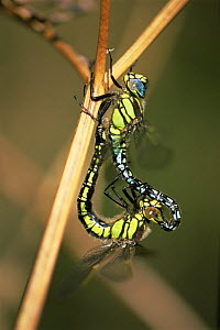 Hairy dragonflies {Brachytron pratense} mating, UK  -  Colin Varndell