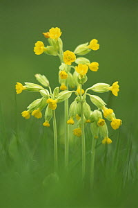 Cowslip {Primula veris} flowers,  UK  -  Colin Varndell