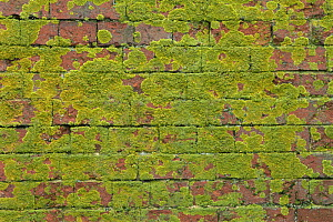 Brick wall covered in lichen, UK  -  Andrew Harrington