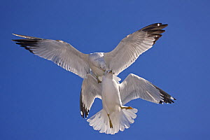Ring-billed gull (Larus delawarensis) adults fighting in air, NY, USA - John Cancalosi