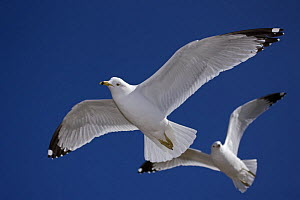 Ring-billed gull (Larus delawarensis) adults in flight, NY, USA - John Cancalosi