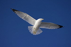 Ring-billed gull (Larus delawarensis) adult in flight, NY, USA - John Cancalosi