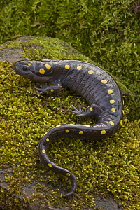Spotted salamander (Ambystoma maculatum) on moss covered rock during early spring migration to woodland pond to breed, NY, USA  -  John Cancalosi