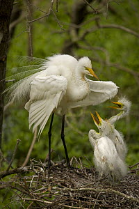 Great egret (Ardea alba) adult with chicks begging for food on nest, Louisiana, USA - John Cancalosi