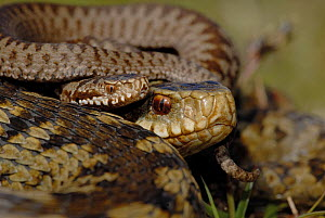Adder (Vipera berus) adult female with new born baby, Surrey, UK, April 2008  -  Tony Phelps