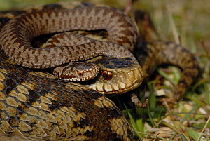 Adder (Vipera berus) female and new born baby, Surrey UK, April 2008 - Tony Phelps