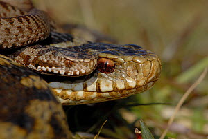 Adder (Vipera berus) female with newborn baby, Surrey UK, April 2008  -  Tony Phelps