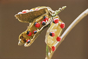 Coral pea seeds {Abrus precatorius} traditionally used to weigh gold, India  -  Vivek Menon