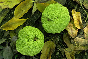 Osage orange {Maclura pomifera} fruit, Missouri botanical garden, USA  -  Nigel Bean