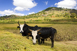 Zebu cattle in the High Plateau between Antsirabe and Ambalavao, Central Madagascar - Inaki Relanzon