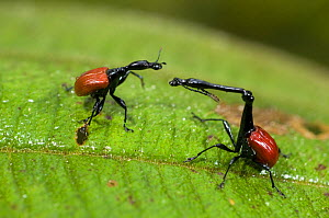 Male (right) and female Giraffe necked weevils (Trachelophorus giraffa) on leaf, Ranomafana National Park, Madagascar  -  Inaki Relanzon