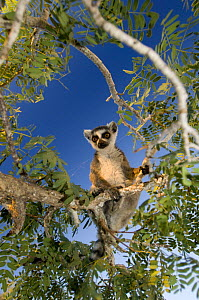Ring-tailed lemur (Lemur catta) looking down from a tree, Itampolo, South Madagascar - Inaki Relanzon