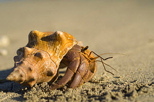 Land hermit crab {Coenobitoidea} walking across sand, Nosy Tanikeli, near Nosy Be, North Madagascar, - Inaki Relanzon