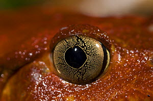 Close up of eye of Tomato frog (Dyscophus antongili) Maroantsetra, Northeast Madagascar  -  Inaki Relanzon