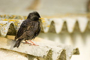 Spotless Starling (Sturnus unicolor) perched on roof tiles, South Spain  -  Inaki Relanzon