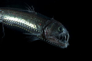 Viperfish {Chauliodus sloani} deepsea, from the Mid-Atlantic Ridge, 400-520m, during the day  -  David Shale