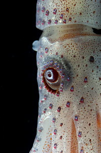 Deepsea squid {Histioteuthis bonellii} showing chromatophores changing colour, from the Mid-Atlantic Ridge, 200 - 50m  -  David Shale