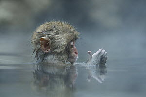 Japanese macaque / Snow monkey {Macaca fuscata} 7-month-old monkey bathing in hot springs, examining its hands, water at 40 degrees, Jigokudani, Nagano, Japan  -  Yukihiro Fukuda