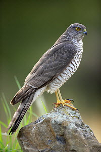 Sparrowhawk (Accipiter nisus) Alicante, Spain - Jose B. Ruiz