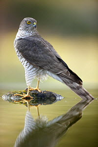 Sparrowhawk (Accipiter nisus) reflected in water, Alicante, Spain - Jose B. Ruiz