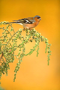 Chaffinch (Fringilla coelebs) male feeding on branch, Alicante, Spain - Jose B. Ruiz