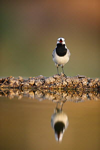 White wagtail {Motacilla alba alba}  with beak wide open, reflected in water, Alicante, Spain - Jose B. Ruiz