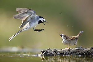 White wagtail {Motacilla alba alba}  flying with beak wide open showing aggression towards Sparrow, Alicante, Spain - Jose B. Ruiz