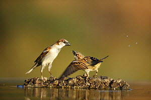 Common sparrows (Passer domesticus) interacting near water, Alicante, Spain - Jose B. Ruiz