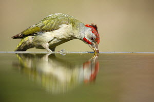 Green woodpecker (Picus viridis) drinking, Alicante, Spain - Jose B. Ruiz