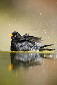 Blackbird (Turdus merula) bathing, Alicante, Spain - Jose B. Ruiz