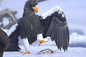 Steller's sea eagle {Haliaeetus pelagicus} about to pick up Sockeye salmon prey in its claws, Kuril Lake, Kamchatka, Far East Russia  -  Igor Shpilenok