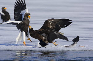 Steller's sea eagle {Haliaeetus pelagicus} adult and juvenile squabbling over Sockeye salmon prey, Kuril Lake, Kamchatka, Far East Russia  -  Igor Shpilenok
