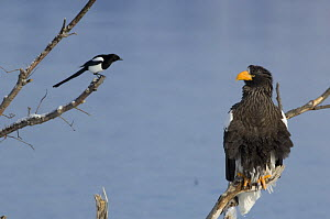 Steller's sea eagle {Haliaeetus pelagicus} and Magpie, perched looking at each other, Kuril Lake, Kamchatka, Far East Russia  -  Igor Shpilenok