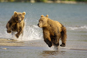 Kamchatka brown bear (Ursus arctos beringianus)  chasing each other beside water, Kronotsky Nature Reserve, Kamchatka, Far East Russia  -  Igor Shpilenok