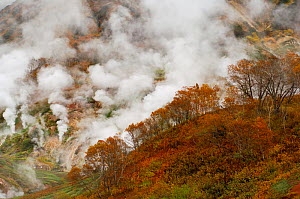 Autumn colours of the Ermans Birch trees in the Valley of Geysers, Kronotsky Zapovednik, Kamchatka, Far East Russia  -  Igor Shpilenok