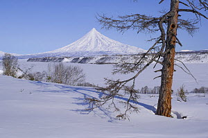 Larch tree in snow with the Kronotsky Volcano in the background, Kronotsky Zapovednik, Kamchatka, Far East Russia - Igor Shpilenok