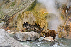 Kamchatka brown bear (Ursus arctos beringianus)  beside the Malachite Grotto, Valley of the Geysers, Kronotsky Zapovednik, Kamchatka, Far East Russia, June 2006 (one year before the landslide which ca...  -  Igor Shpilenok