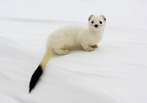 Stoat {Mustela erminea} in white winter coat, Kronotsky Zapovednik, Kamchatka, Far East Russia, April  -  Igor Shpilenok