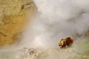 Kamchatka brown bear (Ursus arctos beringianus) amongst hot steam from the geysers in Valley of the Geysers, Kronotsky Zapovednik, Kamchatka, Far East Russia  -  Igor Shpilenok